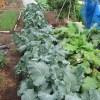 夏播きブロッコリー:防虫ネットを撤去する