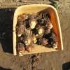 サトイモ:種イモの貯蔵を始める