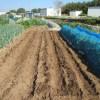 緑肥用麦:1回目の播種