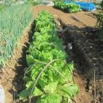 移植白菜:防虫ネットを撤去する