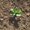そら豆:発芽が始まる