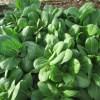 水菜・チンゲンサイ:チンゲンサイの収穫を始める