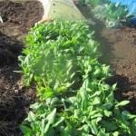 ホウレン草(2):収穫を始める