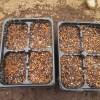 サニーレタス(1):四連ポットに播種