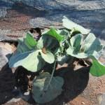 秋播きブロッコリー:2回目の追肥を施す