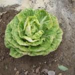 移植白菜:収穫を終える