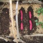 サツマイモ苗の育苗:発芽しない種イモを新しい種イモに替える