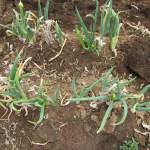 長ネギ:収穫を終える
