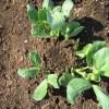 そら豆:脇芽を4~5本仕立てる