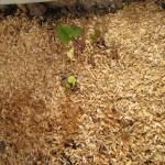 サツマイモ苗の育苗:発芽が始まる