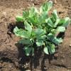 そら豆:追肥・中耕・土寄せ