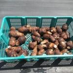サトイモ:室で貯蔵したサトイモの収穫を終える
