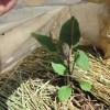 ナス:苗の植付け