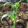 トウモロコシ(1):POフィルムから防虫ネットに切り替える