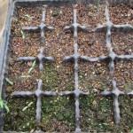 ミニトマトの育苗:16連ポットに播種した種の発芽が始まる