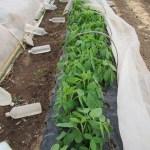 枝豆(2):摘芯
