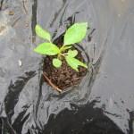 モロヘイヤ:自家製苗の植付け