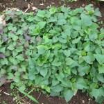 サツマイモ苗の育苗:安納イモ、ベニハルカ苗の採取
