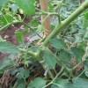 大玉トマト:着果・2本に仕立ての枝を支柱に誘引する