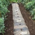 マクワウリ(1):畝をつくり、黒マルチを張る