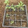 ミニトマトの育苗:16連ポット苗の移植