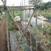 ゴーヤ:藤棚式支柱にネットを張る