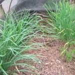 ニラ:4回目の収穫を始める