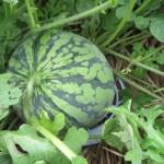 大玉スイカ:5個の着果スイカにマットを敷く、2回目の追肥を施す
