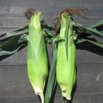 トウモロコシ(1):収穫を始める