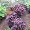 シソ(赤シソ):梅干し用赤シソの収穫