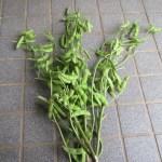 枝豆(1):収穫を始める