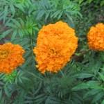 マリーゴールド:開花が始まる