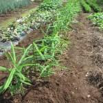 ショウガ:除草と1回目の追肥