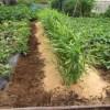 ショウガ:暑さ・乾燥対策として籾殻を敷く