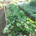 サツマイモ:ベニハルカの両側に柵をつくる