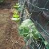 秋キュウリ:1回目の追肥を施す