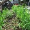 ニラ:6回目の収穫を始め、2回目の追肥を施す