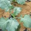 夏播きブロッコリー:1回目の追肥を施す