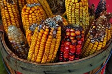 Corn a hybrid cultivar