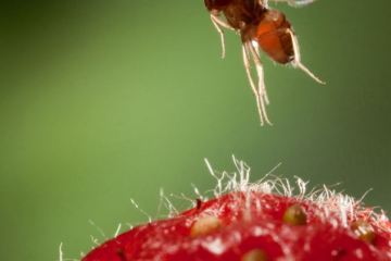 pests like the asian fruit fly can create devastating crop damage to horticulture