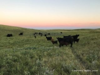 Black angus in field - Photo by Courtney Taylor