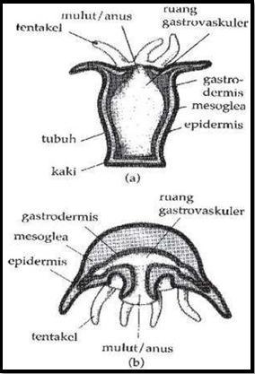 Struktur Tubuh Coelenterata : struktur, tubuh, coelenterata, Cnidaria, Dunia, Biologi
