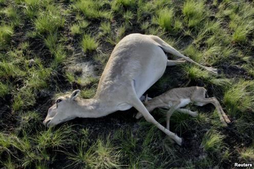 Update on Saiga Deaths in Kazakhstan