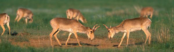 Countries Agree on Actions to Help Save Saiga Antelopes