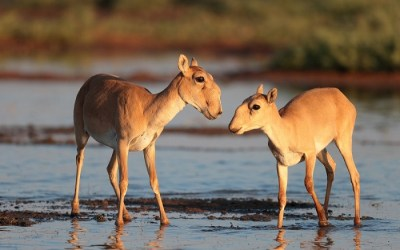 Compilation of Saiga-related Articles in the Oryx Journal
