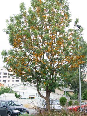cây cánh phượng