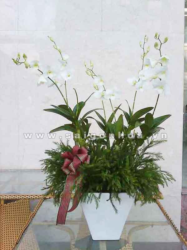hoa lan dendro mau trang