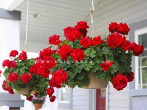 hoa phong lu chau treo