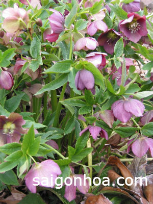 Lenten rose flower