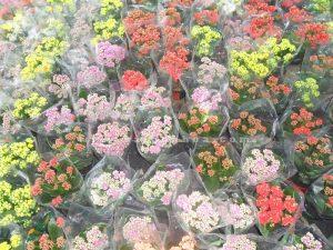 song doi kep hoa tet
